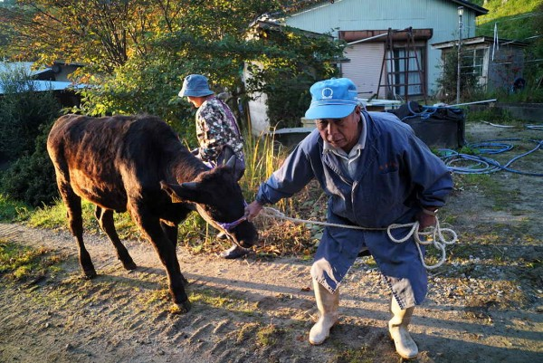 1510牛を引き出す