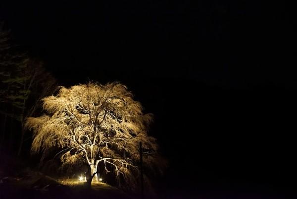 1604桜の光