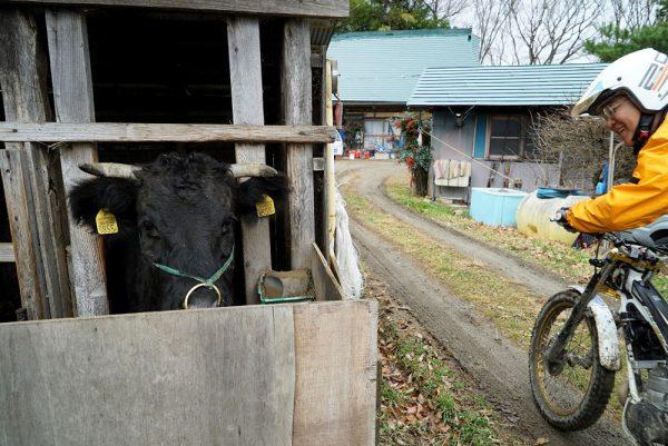 2016高田島ツートラ牛と