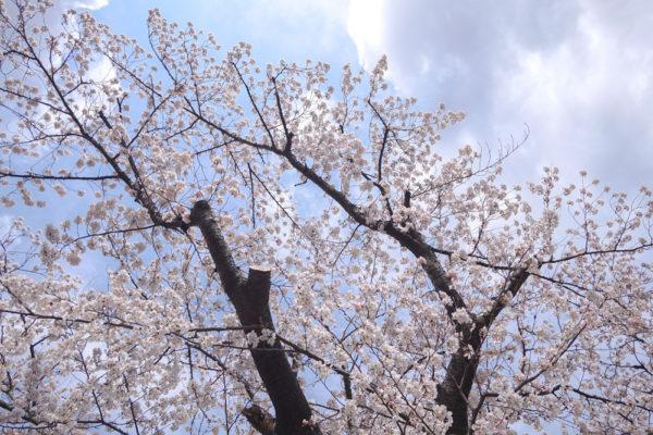 2003福島の桜